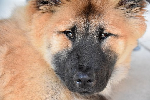 Dog, Canine, Pet, Domestic, Eurasier, Female Eurasier
