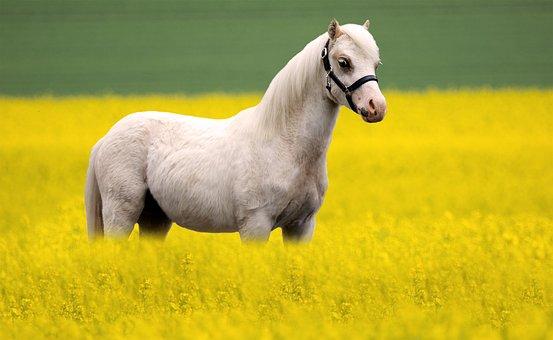 Horse, Pony, Equine, Equestrian, Mammal, Canola
