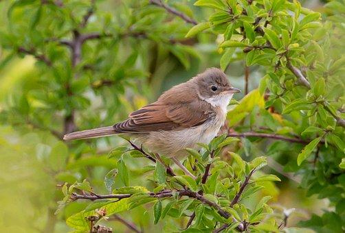 Common Whitethroat, Sylvia Communis, Warbler