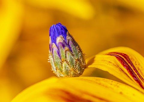 Flower, Cornflower, Bud, Centaurea Cyanus, Coneflowers