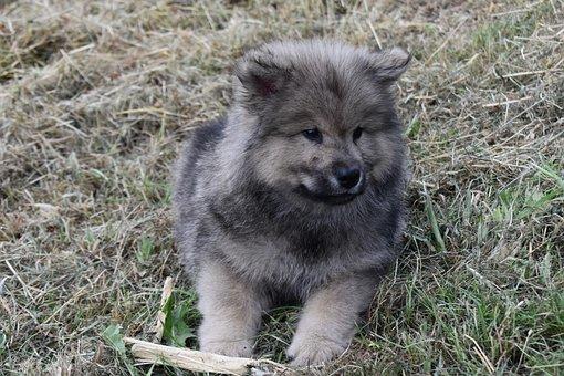 Puppy, Pup, Cute, Dog, Eurasier, Adorable, Doggy