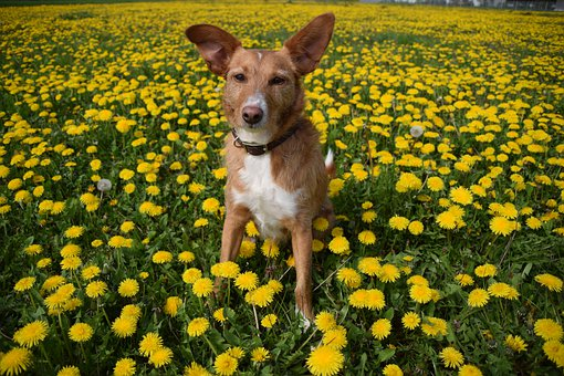 Dog, Canine, Pet, Flowers, Field, Meadow, Nature, Ears