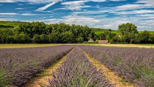 Lavender, Field, Flowers, Lavandula, Farm, Farmland