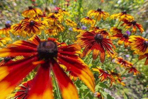 Flower, Petals, Meadow, Coneflowers