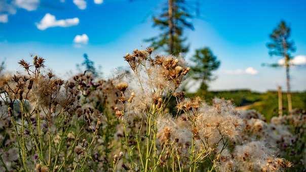 Thistles, Plant, Nature, Flower, Summer, Flora, Meadow