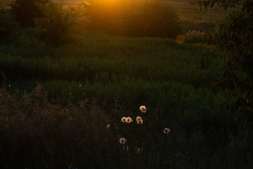 Dandelions, Sunset, Golden Hour, Flower, Plant, Nature