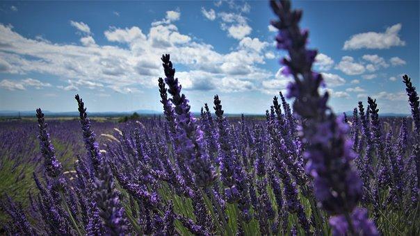 Lavender, Flowers, Field, Farm, Farmland, Lavandula