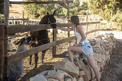 Alpaca, Llama, Animal, Fence, Enclosure, Feed, Fluffy