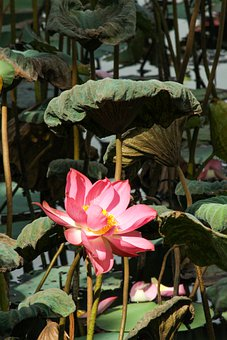 English Lotus, Lotus, Pink, Pond, Flower, Green Leaf