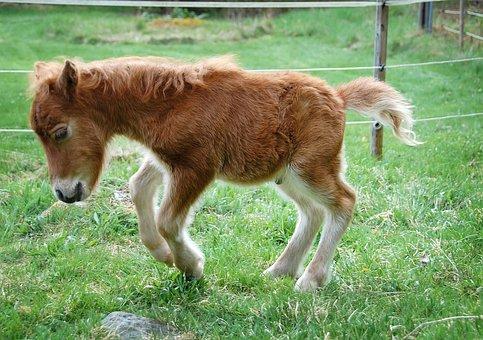 Pony, Foal, Horse, Animal, Shetland Pony, Shetlandsföl