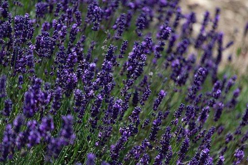Lavender, Lavandula, Lamiaceae, Lavender Field, Summer