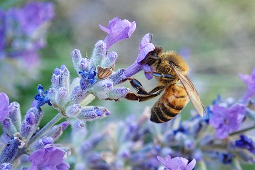Insect, Bee, Pollen, Flowers, Lavender, Plant, Garden
