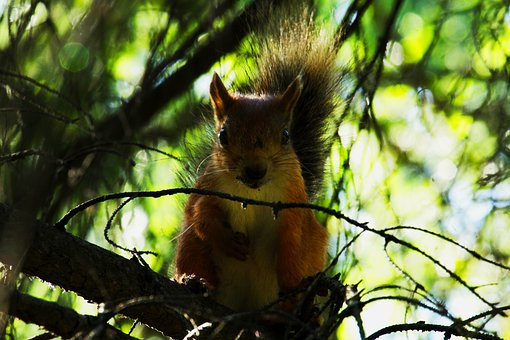 Squirrel, Rodent, Redhead, Tree, Branches, Leaves