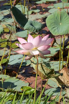 English Lotus, Lotus, Pond, Flower, Green Leaves