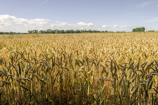 Field, Meadow, Wheat, Agriculture, Cereals, Nature