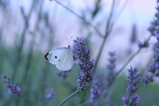 Butterfly, Flowers, Lavender, Field, Garden, Nature