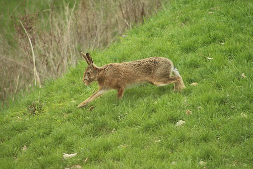 Hare, Meadow, Nature, Long Eared, Animal, Grass