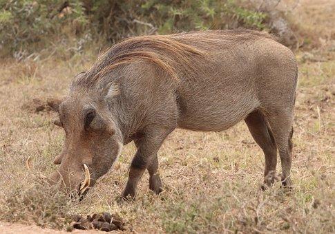 Eastern Cape Warthog, African Warthog, Warthog, Nature
