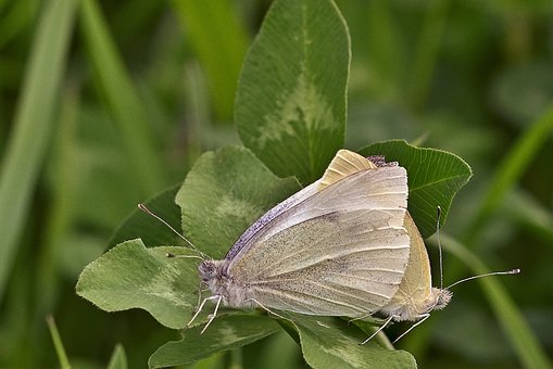 Butterflies, Insects, Bugs, Leaves, Foliage, Pairing