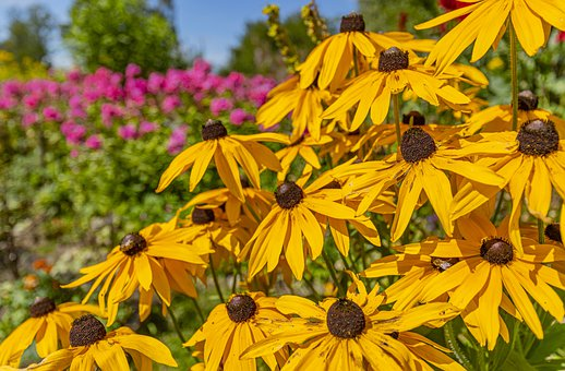 Flowers, Petals, Coneflowers