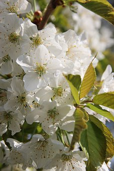 Cherry Blossoms, Flowers, Petals, Tree, Branches