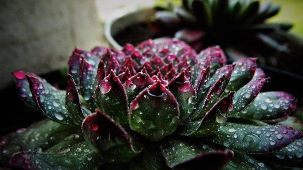 Succulent, Houseleek, Plant, Dew, Dewdrops, Nature