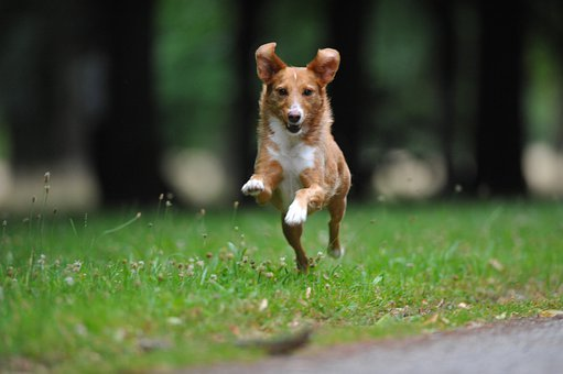 Dog, Pet, Canine, Domestic, Funny, Race, Running, Grass