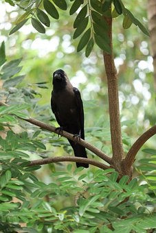 Crow, Bird, Raven, Animal, Plumage, Wildlife, Wild