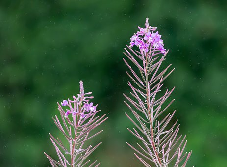 Fireweed, Rosebay Willow Herb