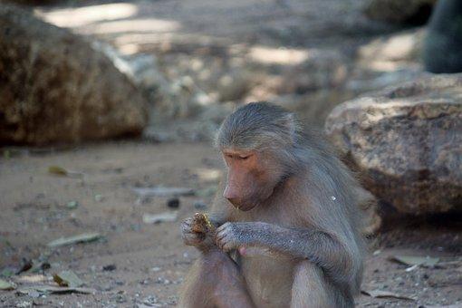 Baboon, Safari, Monkey, Wildlife, Animal, Mammal