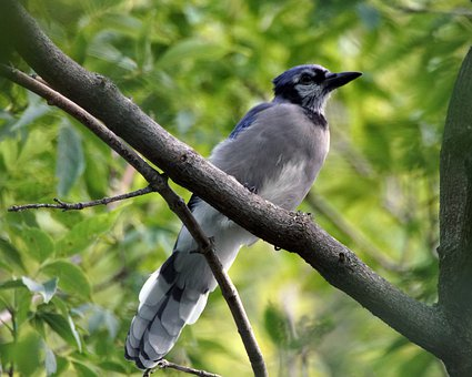 Bird, Blue Jay, Jay, Nature, Wildlife, Animal, Songbird