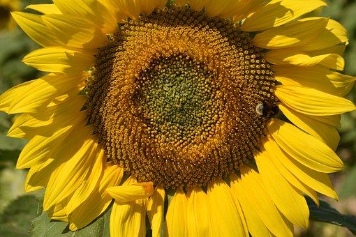 Flower, Sunflower, Plant, Yellow Petals, Bee, Nature