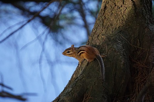 Chipmunk, Animal, Rodent, Tamias, Critter, Cute