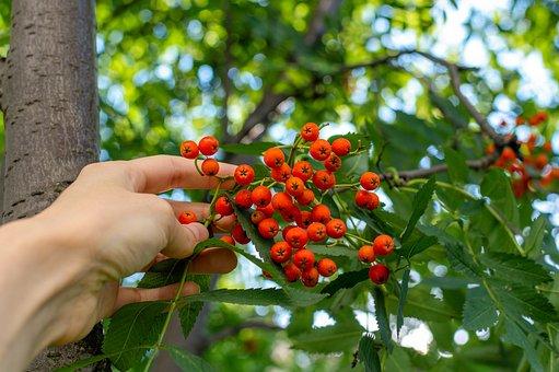 Rowan, Berry, Rowan Berries, Tree, Shrub, Nature