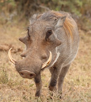 Warthog, Africa, Wild, Wildlife, Nature