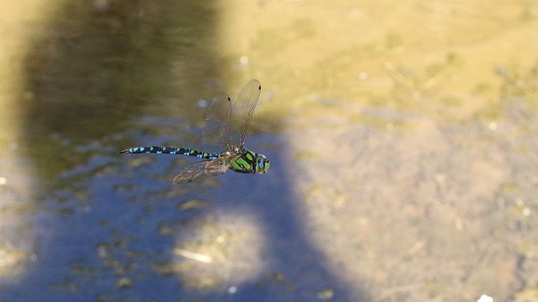 Dragonfly, Insect, Bug, Wings, Nature, Water, Flying