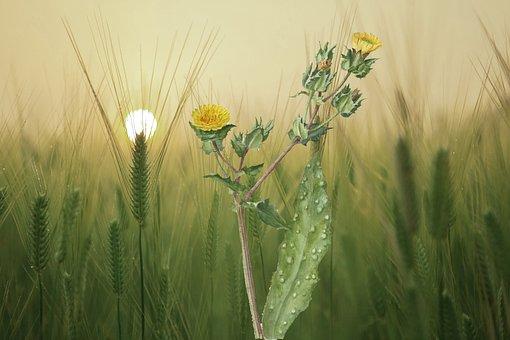 Flowers, Oats, Wheat, Field, Nature, Plants