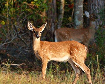 Deer, Antler, Buck, Wildlife, Bambi, Animal, Nature