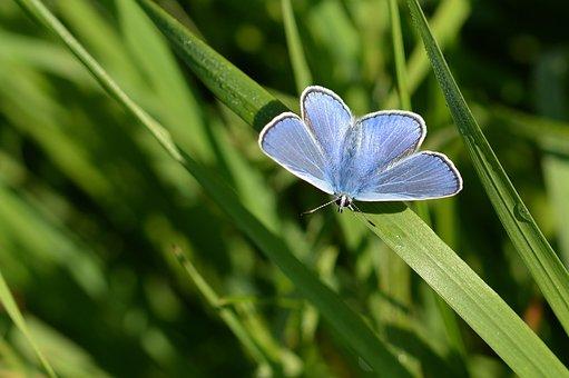 Butterfly, Hauhechel Blue, Meadow, Field, Plants, Wing