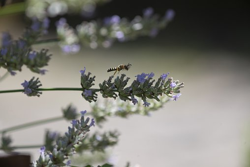 Flowers, Lavender, Wasp, Insect, Nature, Wing