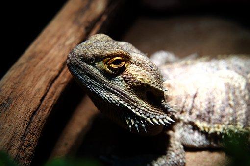 Bearded Dragon, Lizard, Reptile, Head, Close Up