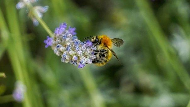 Bee, Flower, Lavender, Nature, Purple, Garden, Nectar