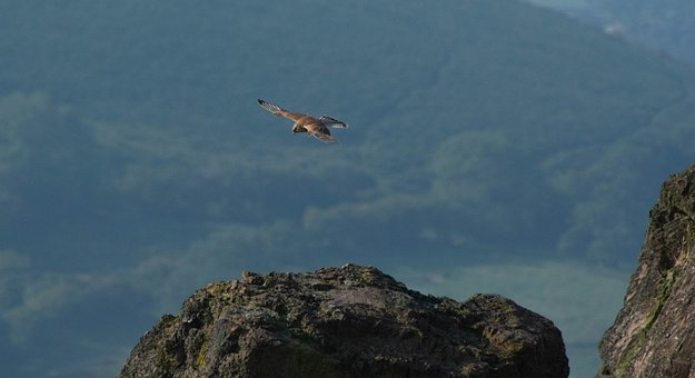 Hawk, Kestrel, Bird, Avian, Beak, Feathers, Plumage