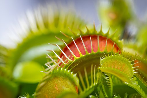 Venus Fly Trap, Plant, Nature, Botanical, Flora