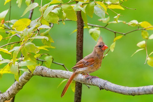 Northern Cardinal, Bird, Cardinal, Common Cardinal