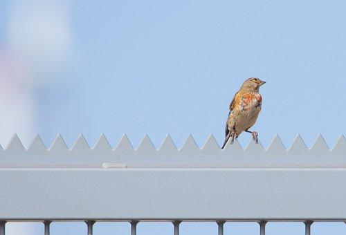 Bird, Fence, Sparrow, Sitting, Animal, City