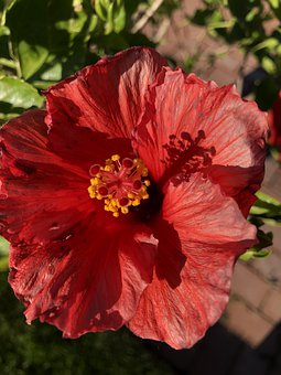Flower, Hibiscus, Petals, Leaves, Flora, Botany