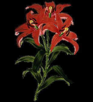 Flower, Stargazer, Stargzer Lily, Red Flower, Bloom