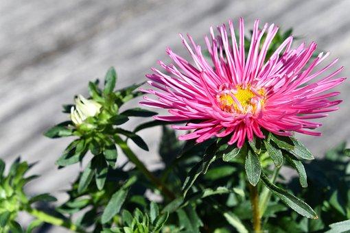 Flower, Chinese Aster, Callistephus Chinensis
