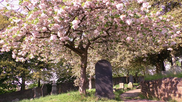Trees, Cherry Blossoms, Flowers, Cemetery, Graveyard